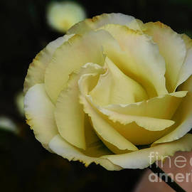 One Yellow Rose by Deni Kidwell