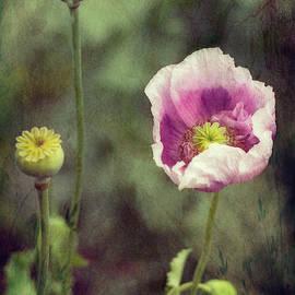 Opium Poppy - Papavar Somniferum by Elaine Teague