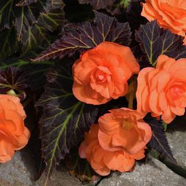 Orange Begonias by Robert Tubesing