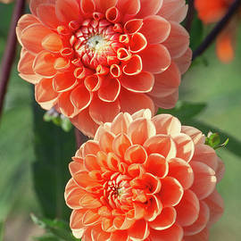Orange Blossoms by Alexa Keeley