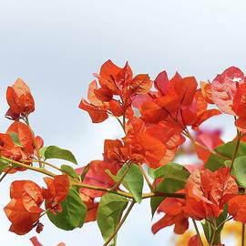 Orange Bougainvillea by Lyuba Filatova