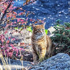 Orange Cat in Autumn by Dana Hardy