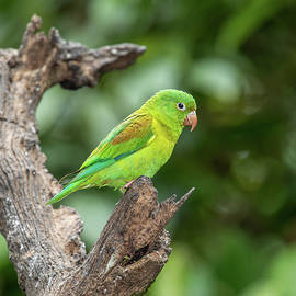 Orange-chinned Parakeet by Teresa Wilson