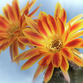 Orange Echinopsis Blooms  by Saija Lehtonen
