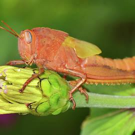 Orange Grasshopper On Meadow Flower Bud by Nicola Fusco