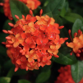 Orange Ixora Macro by Connie Fox