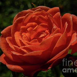 Orange Mini Rose by Linda Howes