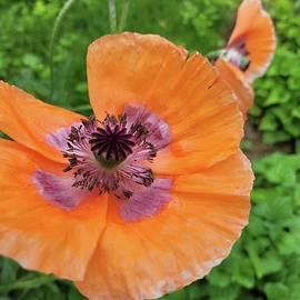 Orange Oriental Poppy Flower by Charlotte Gray