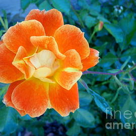 Orange Playboy Rose 1 by Mary Deal