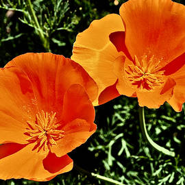 California Poppies by Richard Perry