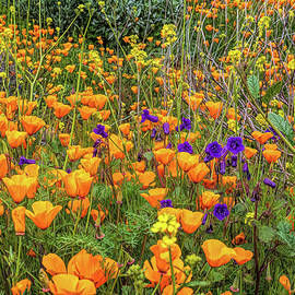 Orange Poppies with Purple Flowers AIM by Alison Frank