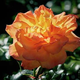 Orange rose like setting sun by Jouko Lehto