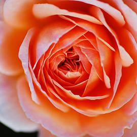 Orange To Pink Rose by Joy Watson