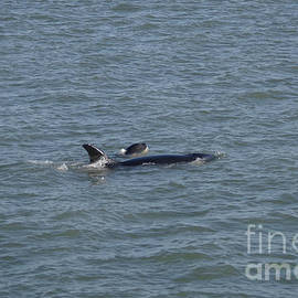 Orca and calf by Jeff Swan