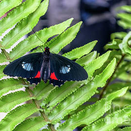 Orchard Swallowtail Butterfly by Michelle Meenawong