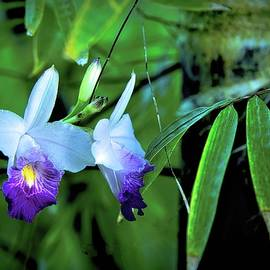 Orchids and Black Bamboo by Heidi Fickinger