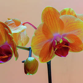 Orchids And Bud by Denise Harty