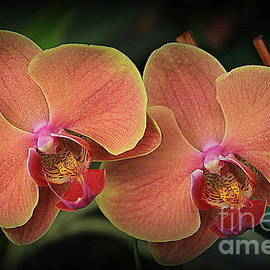 Orchids in Shades of Yellow and Pink by Dora Sofia Caputo Photographic Design and Fine Art