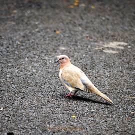 Oriental Turtle Dove by Sonali Gangane