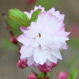 Ornamental Cherry - Closeup by Daniel Beard