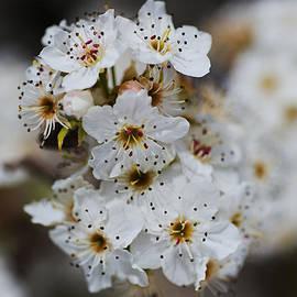 Ornamental Pear Flowers by Joy Watson