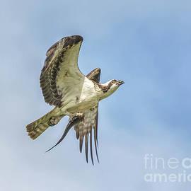 Osprey and a Fish by Warrena J Barnerd