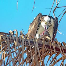 Osprey at Lunch by Debra Kewley
