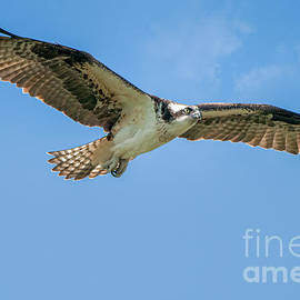 Osprey by Craig Leaper