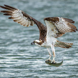 Osprey Fishing by Matthew Alberts