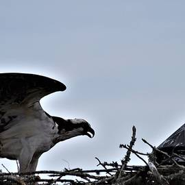 Osprey Fledgling by Warren Thompson
