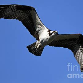 Osprey Glide by Mike Dawson