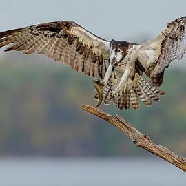 Osprey In Flight #8 by Morris Finkelstein