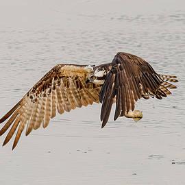 Osprey In Flight #9 by Morris Finkelstein