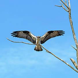 Osprey Landing by Debbie Oppermann