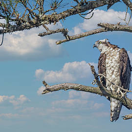 Osprey Perched in a Pine Tree Along the Tideland Trail in the Cr by Bob Decker