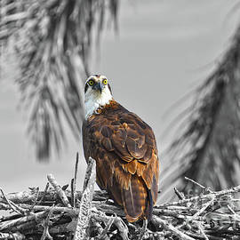 Osprey Selective Color by Christine Dekkers