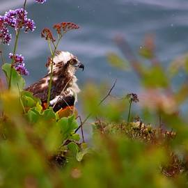 Osprey sitting on side of cliff by LaDonna McCray