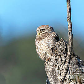 Owl on  a stump by Pravine Chester