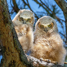 Owlets with Attitude by Matthew Alberts