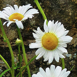 Oxeye Daisies by Yvonne Johnstone