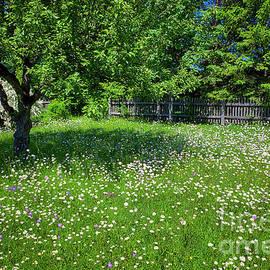 Oxeye Daisy Meadow by Edmund Nagele