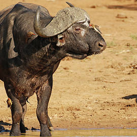 Oxpeckers Grooming their Buffalo  Host by MaryJane Sesto
