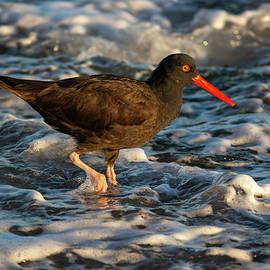 Oystercatcher in the Water 03-02 by Bruce Frye
