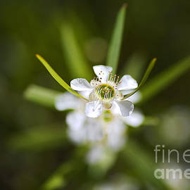 Pacific Beauty Tea Tree Flowers by Joy Watson