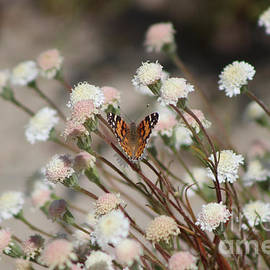 Painted Lady on Wild Pincushion Flower in Coachella Valley Wildlife Preserve by Colleen Cornelius