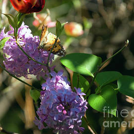 Painted Lady Visiting Dogwoods and Lilacs by Julieanne Case