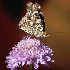 Painted Lady Sips on Nectar by Morgan Wright