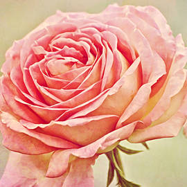 Painted Pink Antique Rose by Gaby Ethington