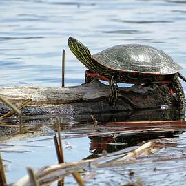 Painted Turtle by Connor Beekman