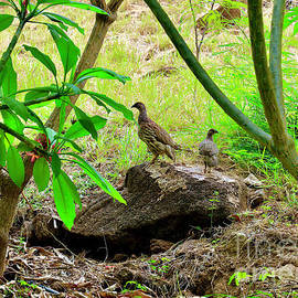 Pair of Erckel's Francolin by Craig Wood